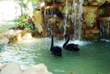 Acuario Mazatlán Presenta: Los Cisnes Negros
