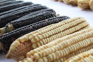 San Ignacio fue sede de la segunda feria del maíz criollo en el sur de Sinaloa