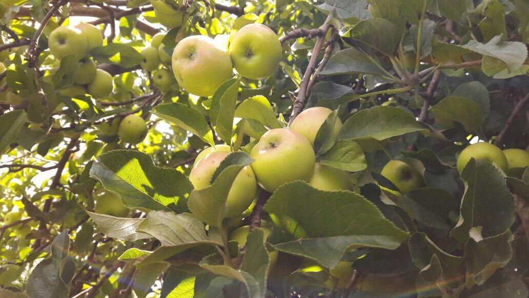 Conoces el Árbol de Manzana