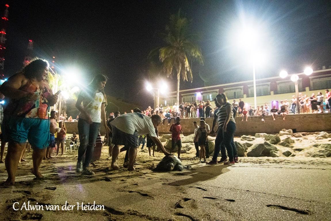 Reptil marino urbano en bahía Olas Altas de Mazatlán Zona Trópico