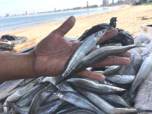 """<center>Los peces """"Pajaritos"""": una especie del trópico que deleita a los mazatlecos</center>"""