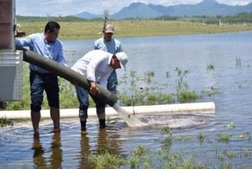 Dos millones de alevines de tilapia serán sembrados en Sinaloa