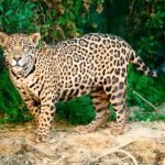 """Este jueves 11, charla sobre """"El rugido de la montaña (la cultura del jaguar)"""""""