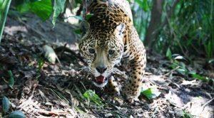 El Señora de las Selvas El Jagura Yamel Rubio 2018 2