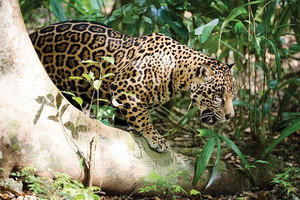 El Señora de las Selvas El Jagura Yamel Rubio 2018 3