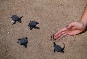 Cautiva a Turistas Nacionales y Extranjeros Liberación de Tortugas