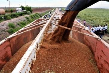 Exportaciones de sorgo sinaloense para consumo humano a China