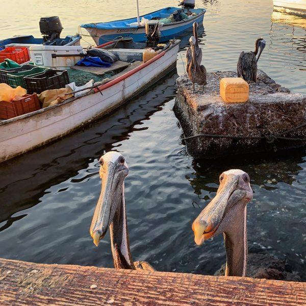 Pelicanos Mazatlecos en el Verano 29019