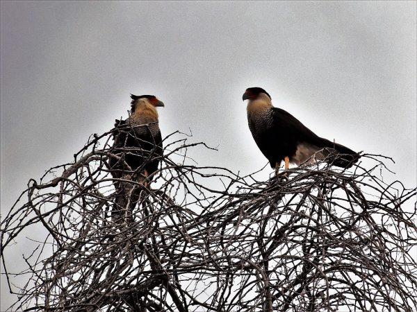Aves Carroñeras en Mazatlán Zona Trópico Sinaloa México 2019 Q