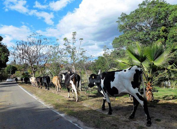 Vacas en Mazatlán Zona Trópico Sinaloa México 2019 Q
