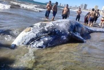 Ballena Gris aparece muerta en Mazatlán