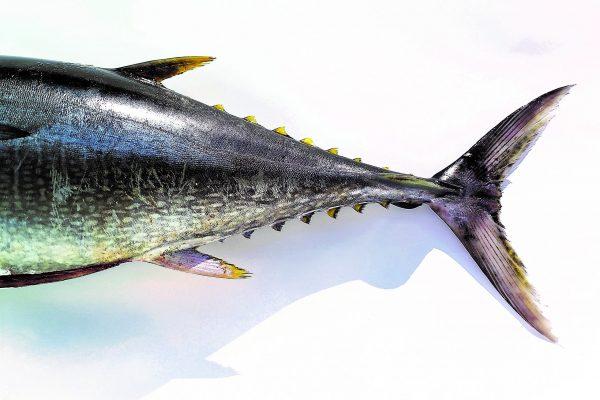 Atún Aleta Amarilla Pesca Azteca