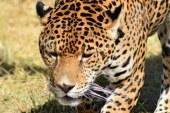 El Jaguar en Sinaloa: Por Yamel Rubio Rocha
