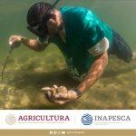 Inicio este primero de mayo veda para captura de almeja chocolata en Sinaloa; será por dos años