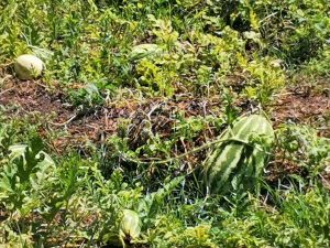 Alimentos Orgánicos en la Zona Trópico en El Quemado 2020 3