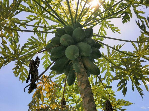 Alimentos Orgánicos en la Zona Trópico en El Quemado 2020 6