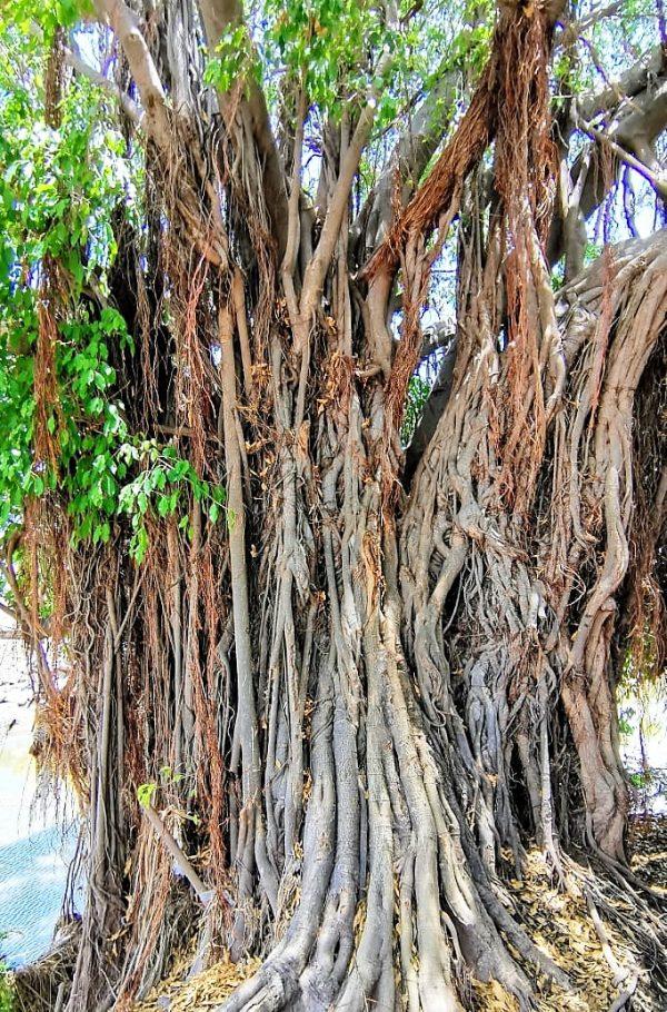 El gran árbol del arroyo de los jabalíes de Mazatlán, un icono ambiental que causa polémicas 2020 1