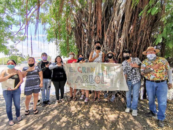 El gran árbol del arroyo de los jabalíes de Mazatlán, un icono ambiental que causa polémicas 2020 3
