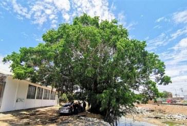 El Gran Árbol del arroyo de los Jabalíes de Mazatlán, un icono ambiental que causa polémicas