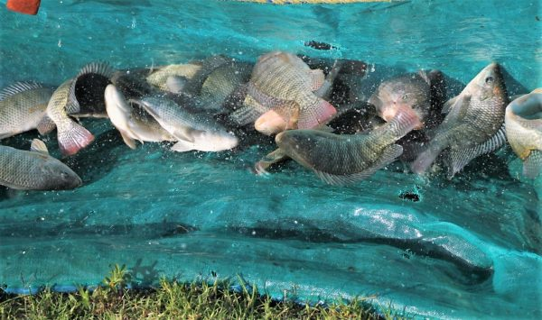 Siembra Conapesca un millón de crías de tilapia en la presa el Comedero 2020 1