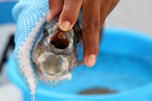 Siembra Conapesca un millón de crías de tilapia en la presa el Comedero 2020 3
