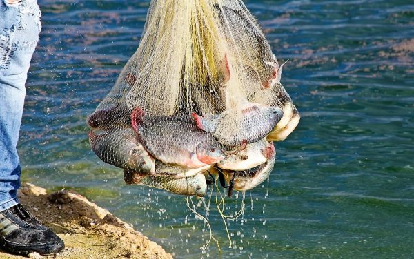 Siembra Conapesca un millón de crías de tilapia en la presa el Comedero 2020 4
