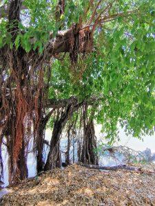 El Gran Árbol de Mazatlán en Jacarandas el Gran Ejemplo a Seguir 2020 2