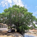 """Los Frutos del """"Gran Árbol"""": un ejemplo ciudadano mazatleco al mundo"""