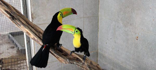 En Acuario Mazatlán se Recuperan Tucanes 2020 (2)