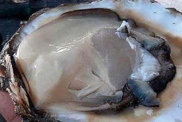 Inicia hoy temporada de extracción de ostión de piedra en el litoral del océano Pacífico
