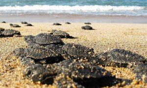 Tortugas Marinas Anidación en Maztalán y Programa de Rescate de Acuario Mazatlán 2020