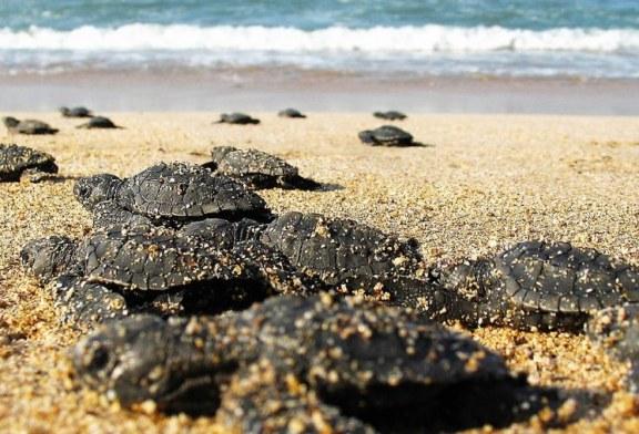 Tortuga Marina Encuentra en Mazatlán un Lugar Seguro para Anidar y Continuar en este Planeta