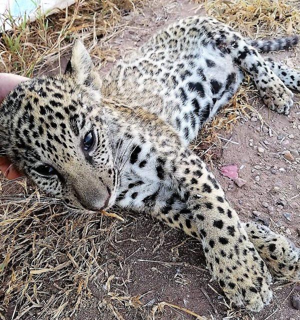 Cachorro de Jaguar Atropellado y Muerto en Carretera de Sinaloa Noviembre Mes Internacional del Jaguar 2020 (2)