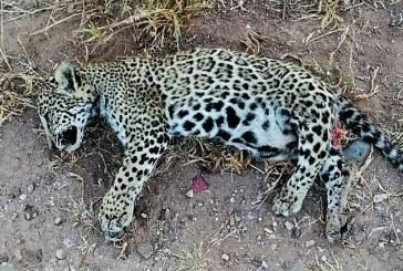 Sinaloa Celebra el Mes Internacional del Jaguar con Cachorro Atropellado y Muerto