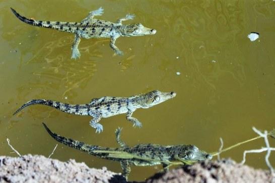 En Laguna de Chiricahueto Sinaloa Sobreviven el 80% de la Crías de Cocodrilo: Beto Caimán