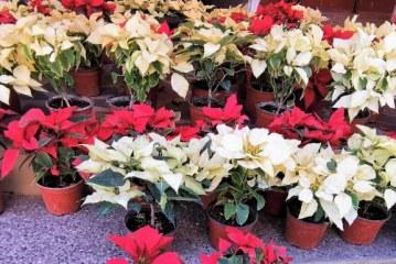 Las Flores de Nochebuena de Sinaloa