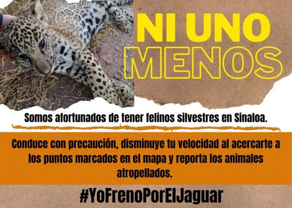 Salen en Defensa del Jaguar Habitantes de Comundiades de San Ignacio, Sinaloa, México, Zona Trópico 2020 3 Bolante 1