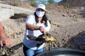 La Tortuga Carey es Protegida en la Bahía Navachiste