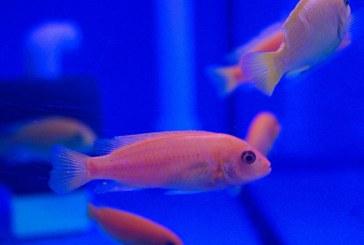 Produce México más de 20 millones de peces de ornato al año en 250 unidades acuícolas