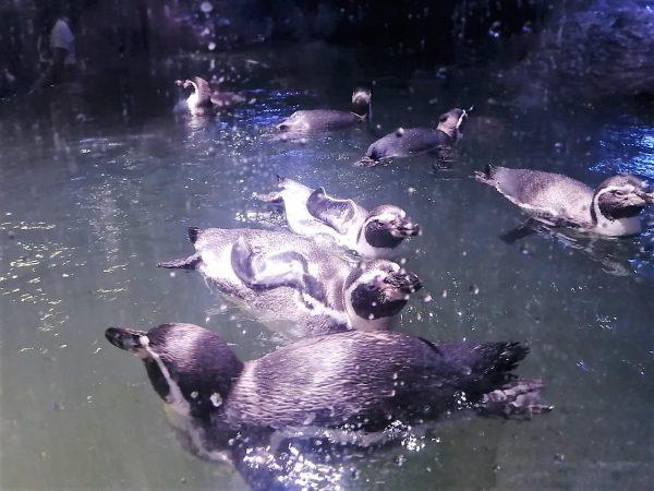Inauguración Pinguinario Mazatlán 2021 2