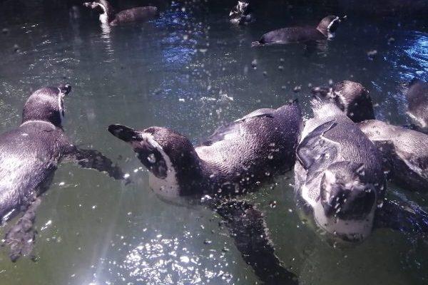 Pinguinario Acuario Mazatlán Inauguración 2021 (7)