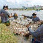 Siembran 30 mil crías de tilapia en nueve granjas acuícolas en el estado de Michoacán