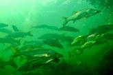 Establece Agricultura pesca sustentable y ordenada de robalo garabato, pargo colorado y curvinas en Marismas Nacionales, Nayarit y el sur de Sinaloa