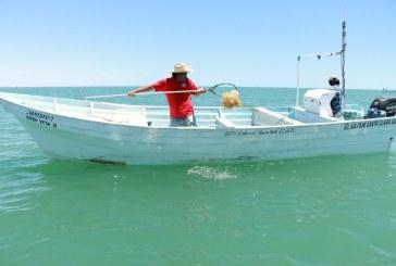 Abierta la pesquería de medusa bola de cañón para la Cooperativa Comunidades Yaqui