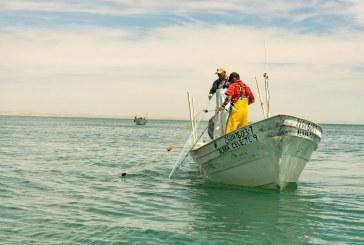 Inicia veda de curvina golfina a partir del 1 de mayo