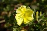 Oenothera Drummondi, la rubia mexicana que ha invadido el mundo