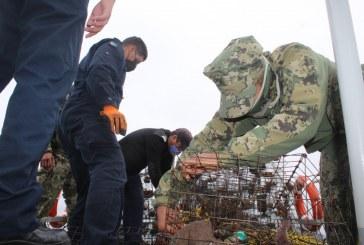 Autoridades federales aseguran 379 trampas langosteras y liberan 624 ejemplares vivos, en Ensenada, Baja California