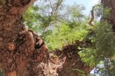 Don Jorge: el Árbol Energético de Campestre La Vaca Lupe