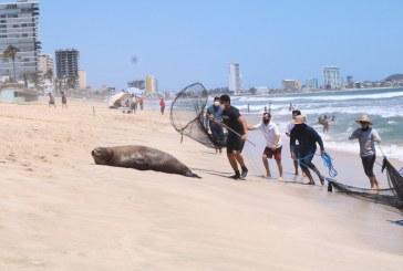 Rescatan a Lobo Marino en playas de Mazatlán