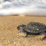 Inicia Acuario Mazatlán, la temporada 31 del Programa de Protección a la tortuga marina